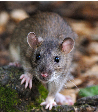 Brown Rat, rats control in London by Sun Pest Control