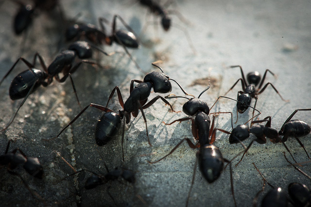 Ants control in Surrey and London by Sun Pest Control